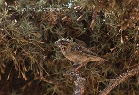 37 Birdingmurcia - Cynthia Bandurek