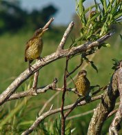 48 Birdingmurcia - Cynthia Bandurek