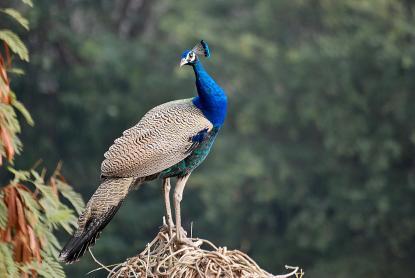 06 Birding Murcia - SUDHIR GARG Peafowl... Male