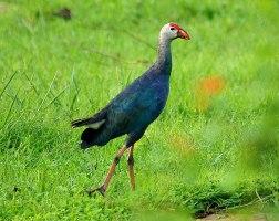 07 Birding Murcia - SUDHIR GARG Purple Swamphen