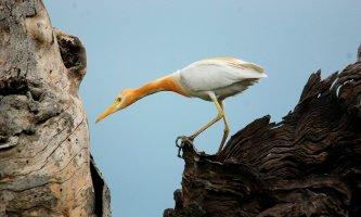08 Birding Murcia - SUDHIR GARG Cattle Egret