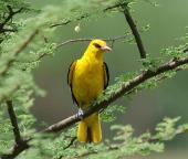 14 Birding Murcia - SUDHIR GARG Golden Oriole....male