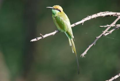 16 Birding Murcia - SUDHIR GARG Green Bee eater