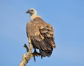 17 Birding Murcia - SUDHIR GARG Eurasian Griffon Vulture