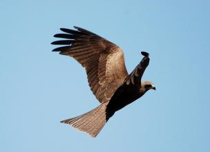 18 Birding Murcia - SUDHIR GARG Black Kite