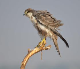 20 Birding Murcia - SUDHIR GARG Laggar Falcon2b
