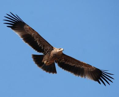 21 Birding Murcia - SUDHIR GARG Imperial Eage