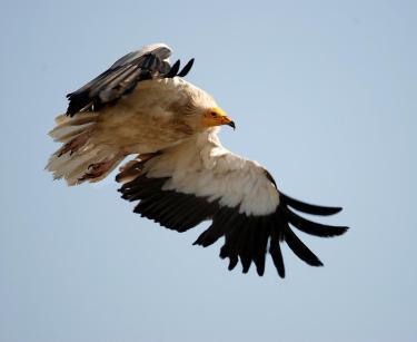26 Birding Murcia - SUDHIR GARG Egyptian Vulture5