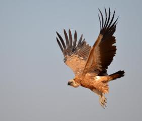 27 Birding Murcia - SUDHIR GARG Eurasian Griffon Vulture