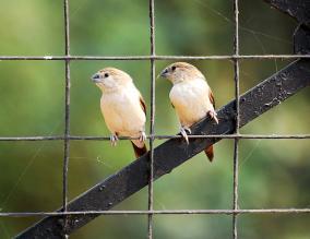 29 Birding Murcia - SUDHIR GARG Silver Bill Pair