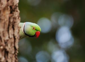 30 Birding Murcia - SUDHIR GARG Rose Ring Parakeet