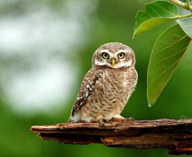 31 Birding Murcia - SUDHIR GARG Spotted Owlet2