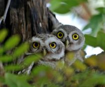 32 Birding Murcia - SUDHIR GARG Two in one...Spotted owlet