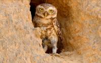 35 Birding Murcia - SUDHIR GARG Spotted Owlet