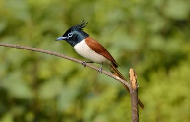 36 Birding Murcia - SUDHIR GARG Asian Paradise flycatcher