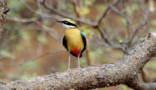37 Birding Murcia - SUDHIR GARG Indian Pitta 02