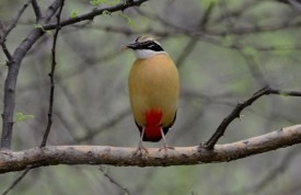 38 Birding Murcia - SUDHIR GARG Indian Pitta 04