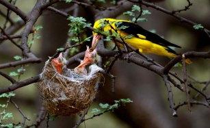 40 Birding Murcia - SUDHIR GARG Golden Oriole