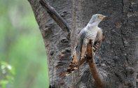 42 Birding Murcia - SUDHIR GARG Cuckoo
