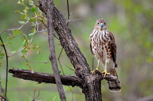 44 Birding Murcia - SUDHIR GARG Indian Pitta 02