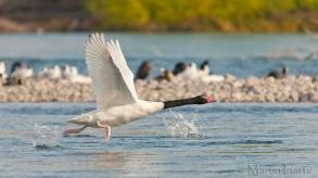 19 BIRDERS Martin Iriarte-Cisne de Cuello Negro