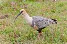 24 BIRDERS Martin Iriarte-Bandurria Austral