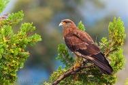 26 BIRDERS Martin Iriarte-Chimango