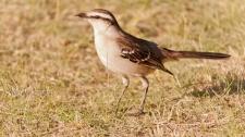 29 BIRDERS Martin Iriarte-Calandria Grande