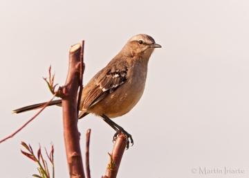 30 BIRDERS Martin Iriarte-Calandria Mora