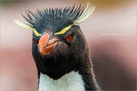 37 BIRDERS Martin Iriarte-Pinguino Ceja Amarilla
