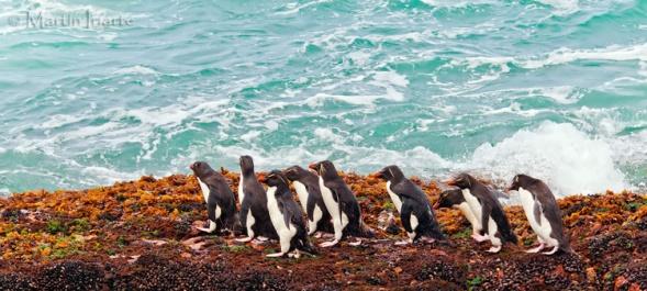 39 BIRDERS Martin Iriarte-Pinguino Ceja Amarilla