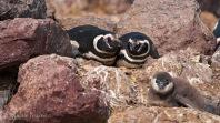 41 BIRDERS Martin Iriarte-Pinguino de Magallanes