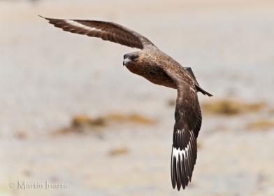 45 BIRDERS Martin Iriarte-Skua Antártica