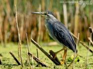 07 BIRDERS H Tolosa-Garcita azulada (Butorides striatus)