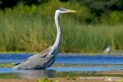 10 BIRDERS H Tolosa-Garza mora (Ardea cocoi)
