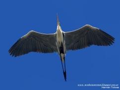 11 BIRDERS H Tolosa-Garza mora (Ardea cocoi)