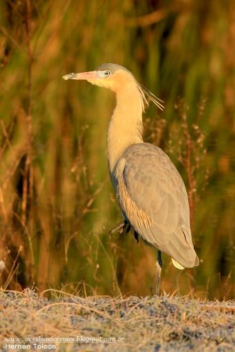 13 BIRDERS H Tolosa-Chiflвn (Syrigma sibilatrix)