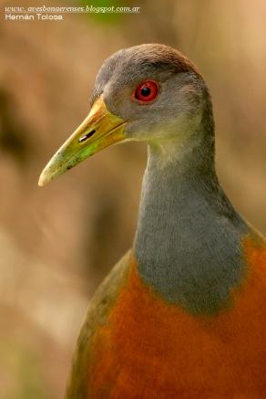 15 BIRDERS H Tolosa-Chiricote (Aramides cajanea)