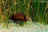 17 BIRDERS H Tolosa-Carau (Aramus guarauna)