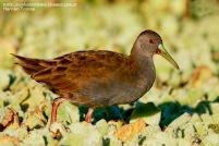 19 BIRDERS H Tolosa-Gallineta comгn (Pardirallus sanguinolentus)