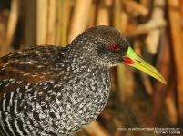 20 BIRDERS H Tolosa-Gallinea overa (Pardirallus maculatus)