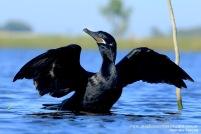 22 BIRDERS H Tolosa-Biguа (Phalacrocorax brasilianus)