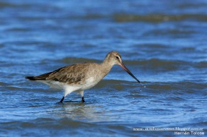 26 BIRDERS H Tolosa-Becasa de mar (Limosa haematistica)