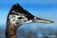 29 BIRDERS H Tolosa-Macа grande (Podiceps major) juvenil