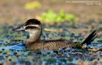 34 BIRDERS H Tolosa-Pato zambullidor chico (Oxyura vittata) hembra