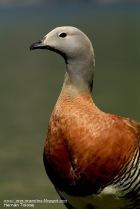 37 BIRDERS H Tolosa-Cauquen colorado (Chloephaga poliocephala)