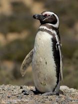 38 BIRDERS H Tolosa-Pinguino patagonico (Spheniscus magellanicus)