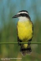 39 BIRDERS H Tolosa-Benteveo (Pitangus sulphuratus)