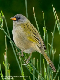 41 BIRDERS H Tolosa-Verdon (Embernagra platensis)