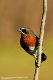 42 BIRDERS H Tolosa-Sietevestidos (Poospiza nigrorufa)